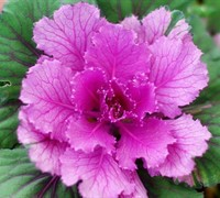 Flowering Cabbage Picture