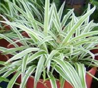 Spider Plant Variegatum Picture