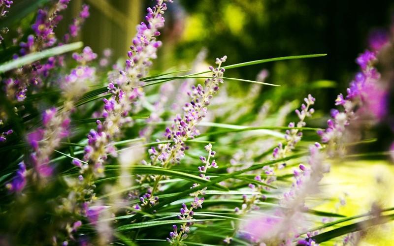 Our Monkey Grass this season. :)