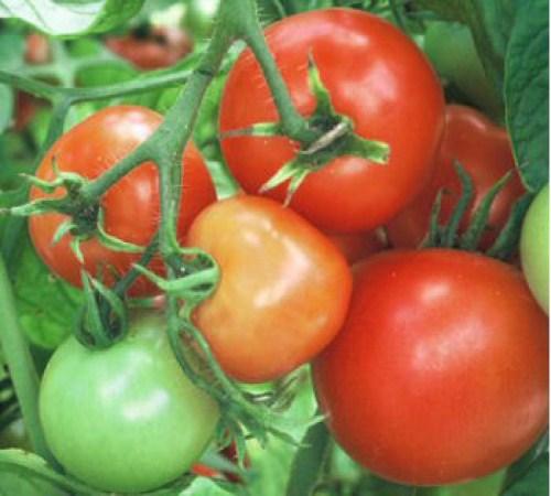 Picture of Better Bush Tomato