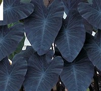 Black Magic Elephant Ears Picture