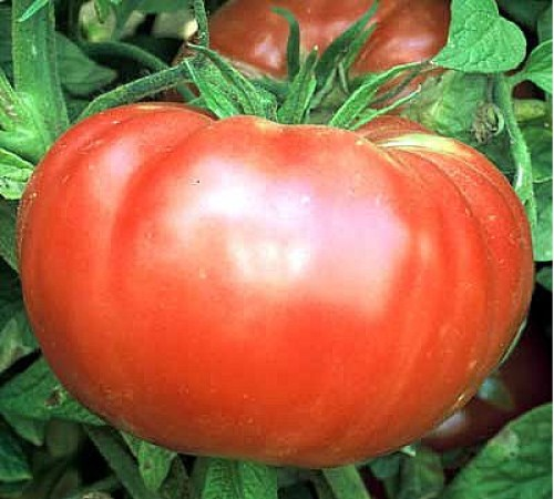 Picture of Brandywine Tomato
