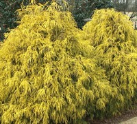 Gold Mop Cypress Picture