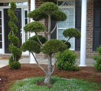 Scotch Pine Picture