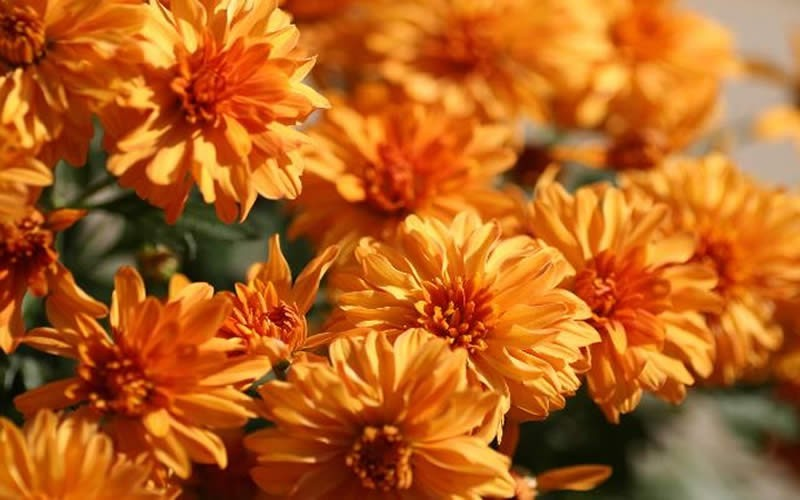 Hannah Chrysanthemum Picture