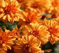 Hannah Chrysanthemum Picture