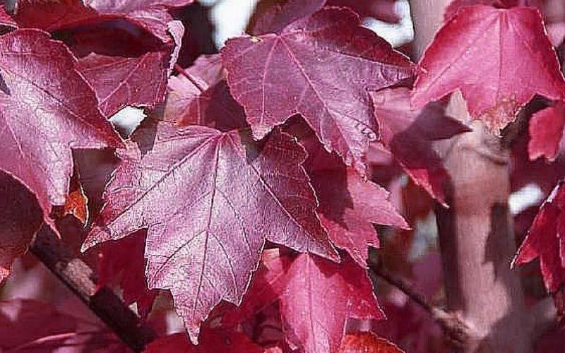 Brandywine Maple Picture