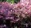 Loropetalum Ruby