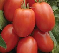 Roma Tomato Picture