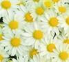 Vanna Chrysanthemum