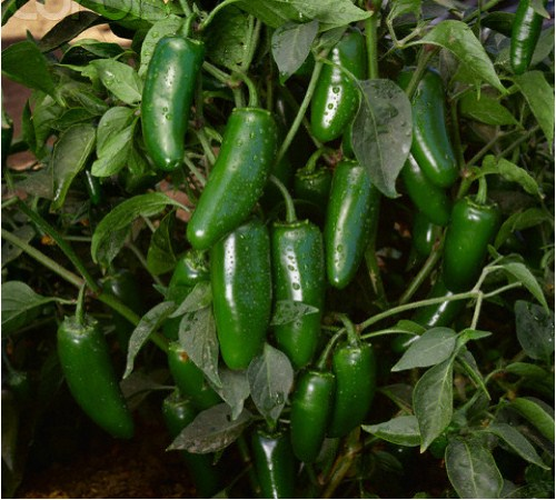 Picture of Jalapeno Pepper