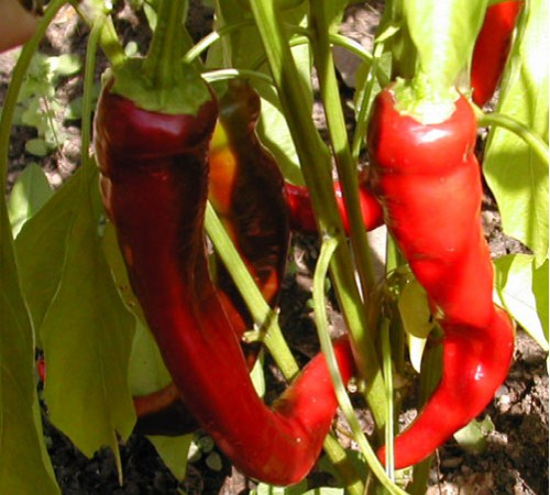 Picture of Long Slim Red Cayenne Pepper