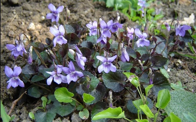 Purpurea Viola Picture