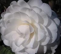 Alba Plena Camellia Japonica Picture