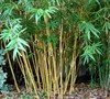 Alphonse Karr Bamboo