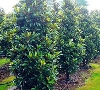 Alta Southern Magnolia Picture