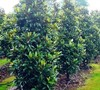 Alta Southern Magnolia