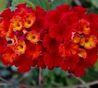 American Red Bush Lantana Picture