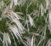 Yakushima Maiden Grass