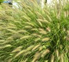 Cassian Fountain Grass