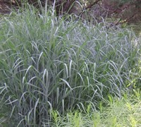 Heavy Metal Grass Picture