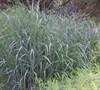 Heavy Metal Grass