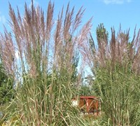 Ravenna hardy pampas grass ornamental grasses for Hardy tall ornamental grasses