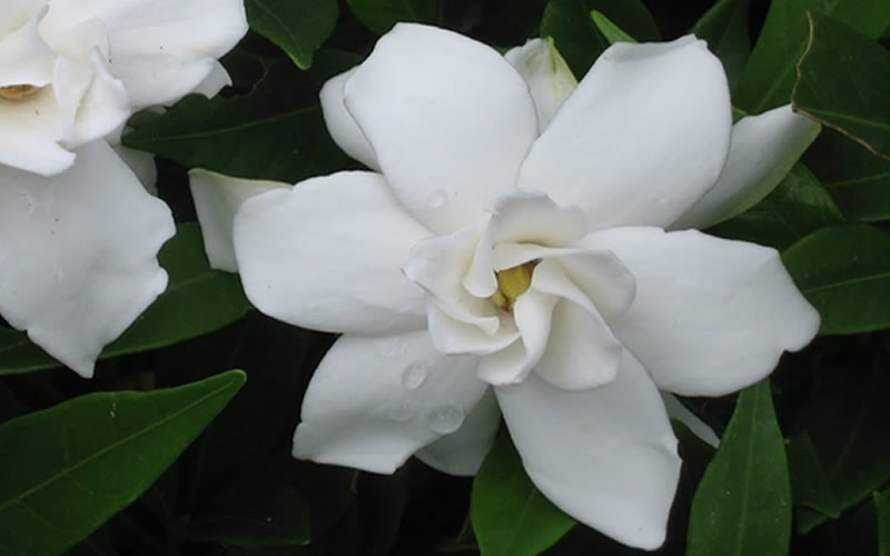 Frost Proof Gardenia Picture