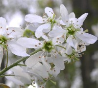 Common Serviceberry Picture