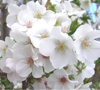 Snow Goose Flowering Cherry Picture