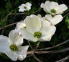 Common White Dogwood