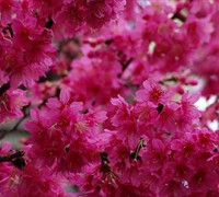 Taiwan Flowering Cherry Picture
