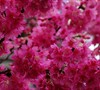 Taiwan Flowering Cherry