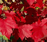 October Glory Maple Picture