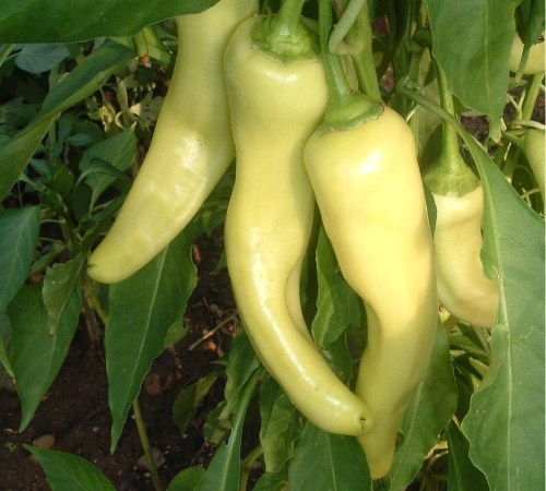 Picture of Hot Banana Pepper