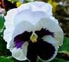 Majestic Giant 'White W/ Blotch' Pansy