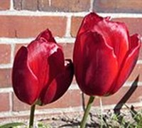 Red Hybrid Tulip Picture