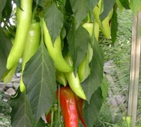 Sweet Banana Pepper Picture