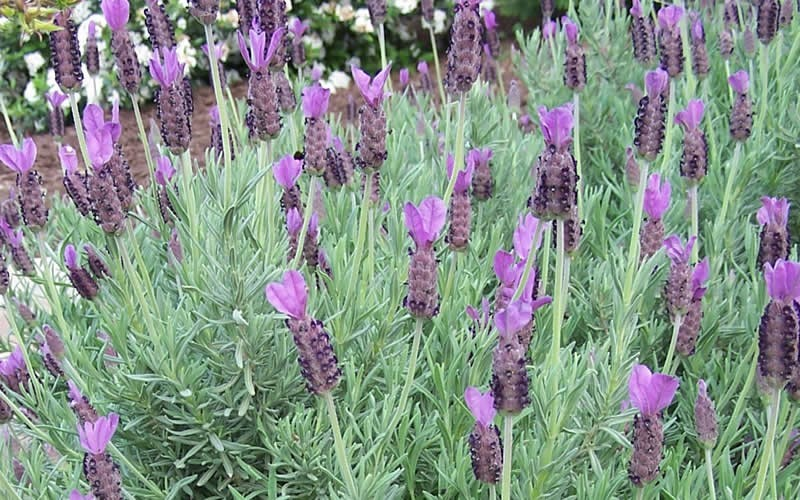 French Lavender Picture