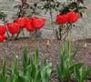 Red Hybrid Tulip