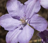Clematis  'Mrs. Cholmondeley' Picture