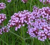 Tall Verbena Picture