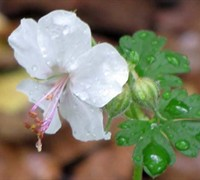 Biokovo Cranesbill Geranium Picture