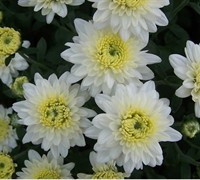 Marilyn Chrysanthemum Picture