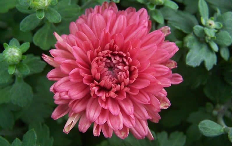 Lindsay Chrysanthemum Picture