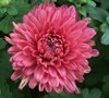 Lindsay Chrysanthemum