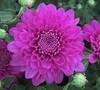 Rhapsody Chrysanthemum