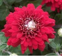 Camina Chrysanthemum Picture