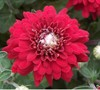 Camina Chrysanthemum