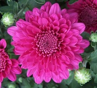 Beth Chrysanthemum Picture
